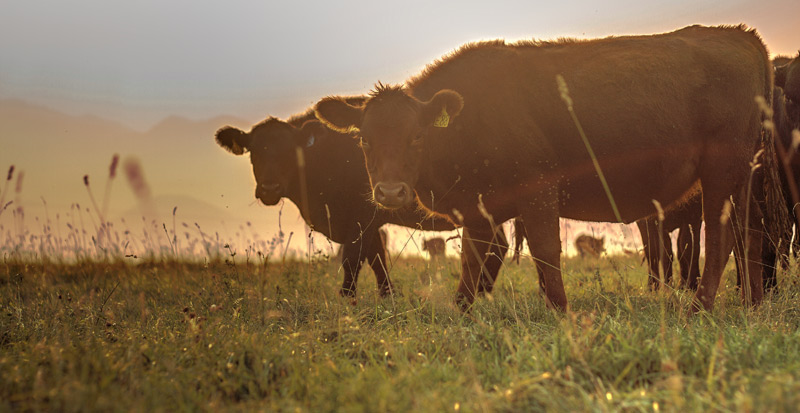 Grass-fed cows from Alderspring