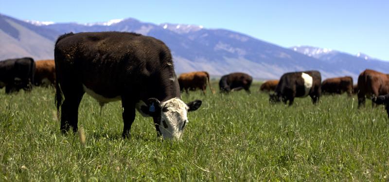 Grazing in the fresh grasses - Alderspring