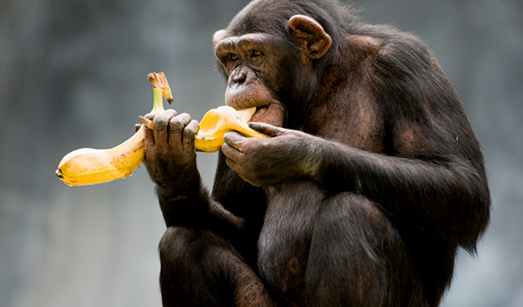 Chimpanzee eating a banana