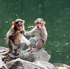 Monkeys snacking