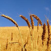 grains2
