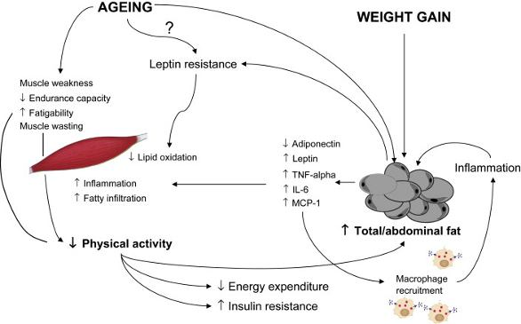 Diagram of sarcopenic obesity in the elderly